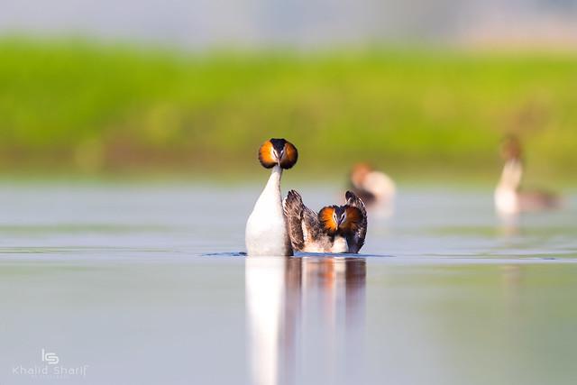Great Crested Grebe (Podiceps cristatus)  凤头鸊鷉 fèng tóu pì tī