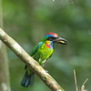 Red-Crowned Barbet by zingbean