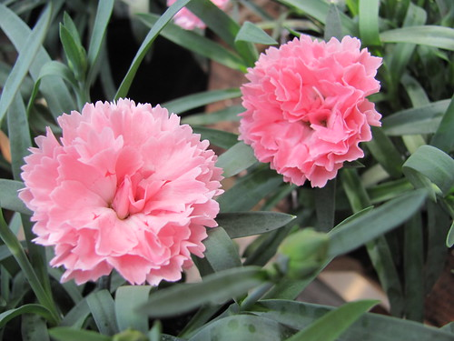 Dianthus rose | by Les Serres Fortier