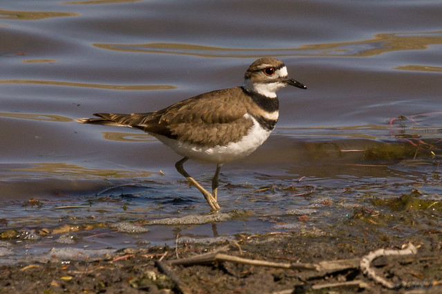 Shorebird Killdeer