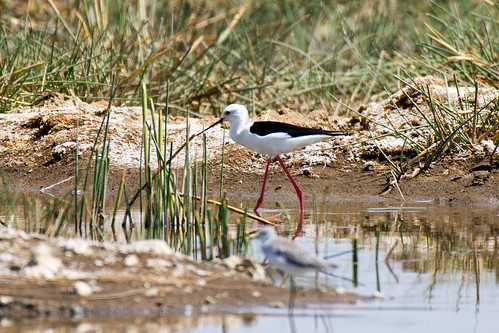 Black-winged Stilt | by Sergey Yeliseev