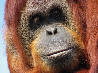 Sumatran Orangutan - 3 | by Care_SMC