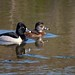 Ring-necked Ducks 2 by dave dube'