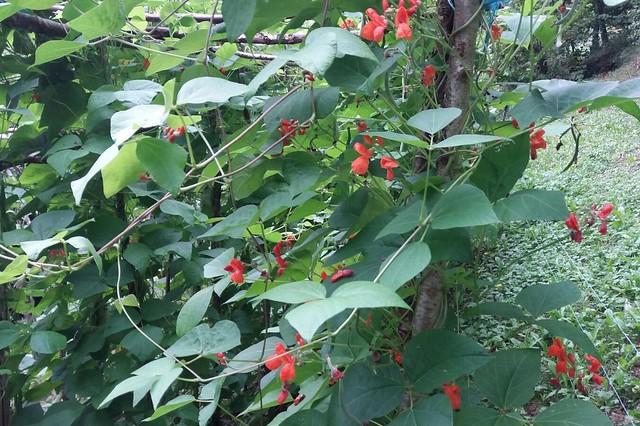 La floraison des haricots