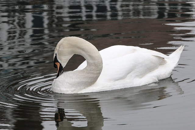 reflections of ripples on the neck of the swan