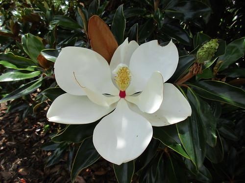 Foraging Texas Magnolia