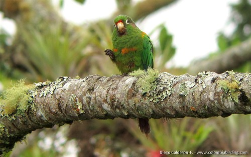 Endemic Santa Marta Parakeet - Pyrrhura viridicata 6 - San Lorenzo Ridge, Santa Marta Mts.