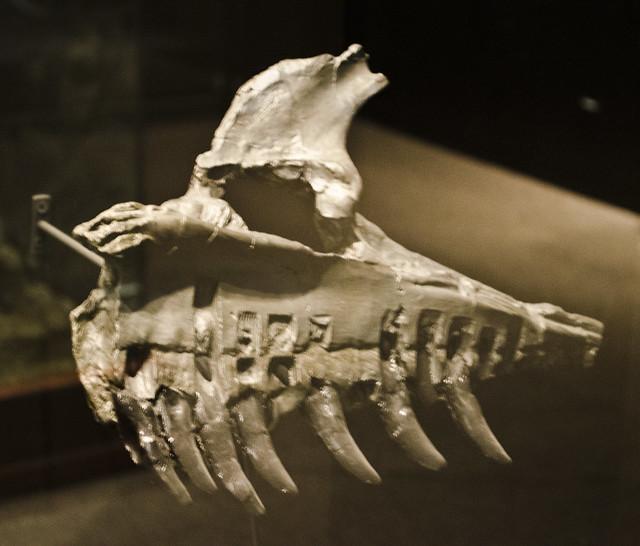 Allosaurus fragilis mandible - cast - Museum of the Rockies - 2013-07-08