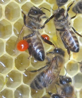 Propolis forager returns to the observation hive | by Max xx