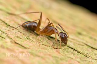 Ant (Camponotus sp.) - DSC_2396