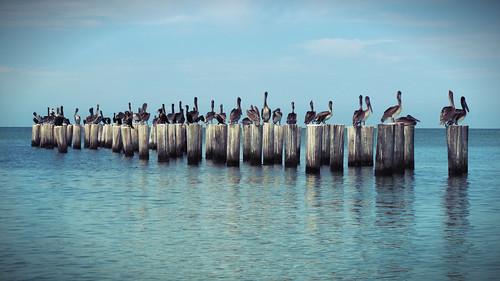 gulfofmexico florida pelican naplesflorida