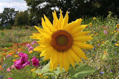 Sonnenblume | by miezi (chip)