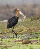 Lesser Adjutant by Wild Chroma