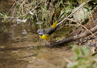 Grey Wagtail | by markhows