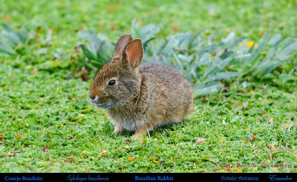 BRAZILIAN RABBIT (or FOREST RABBIT) in the Paramo at Volcán Antisana, Ecuador. Photo by Peter Wendelken.