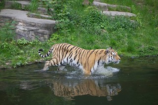 Tiger (Zoo Wuppertal) | by deibel