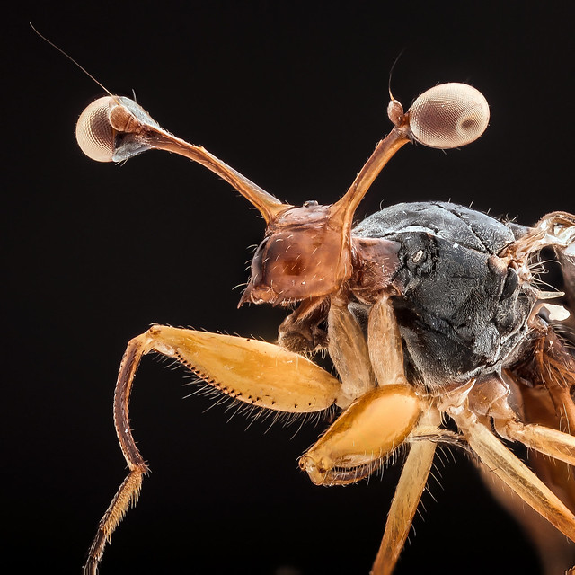 Stalk-eyed fly (Diopsis)