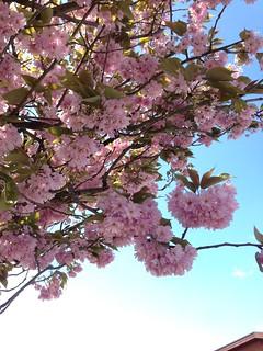 134/365 Cherry blossom | by Anetq