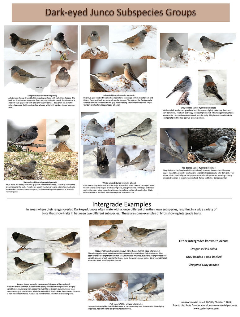 Dark-eyed Junco Subspecies Group ID Chart | A chart showing … | Flickr
