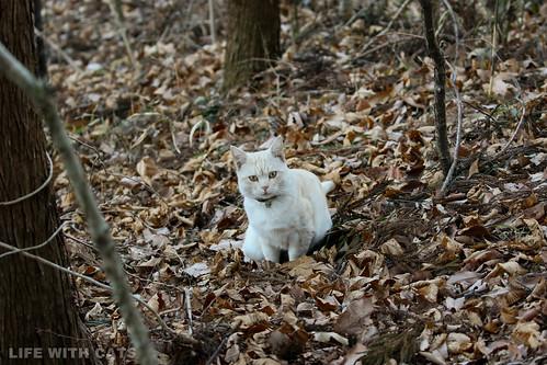 4T4A4715 Cream tabby Japanese cat 薄茶トラ猫