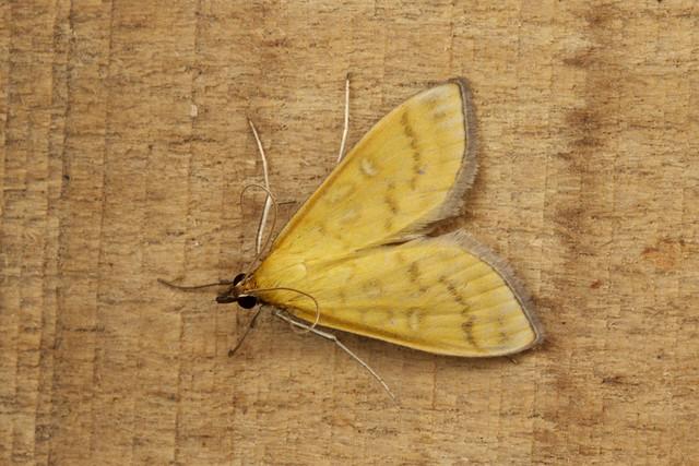 Mecyna flavalis - Yellow Pearl