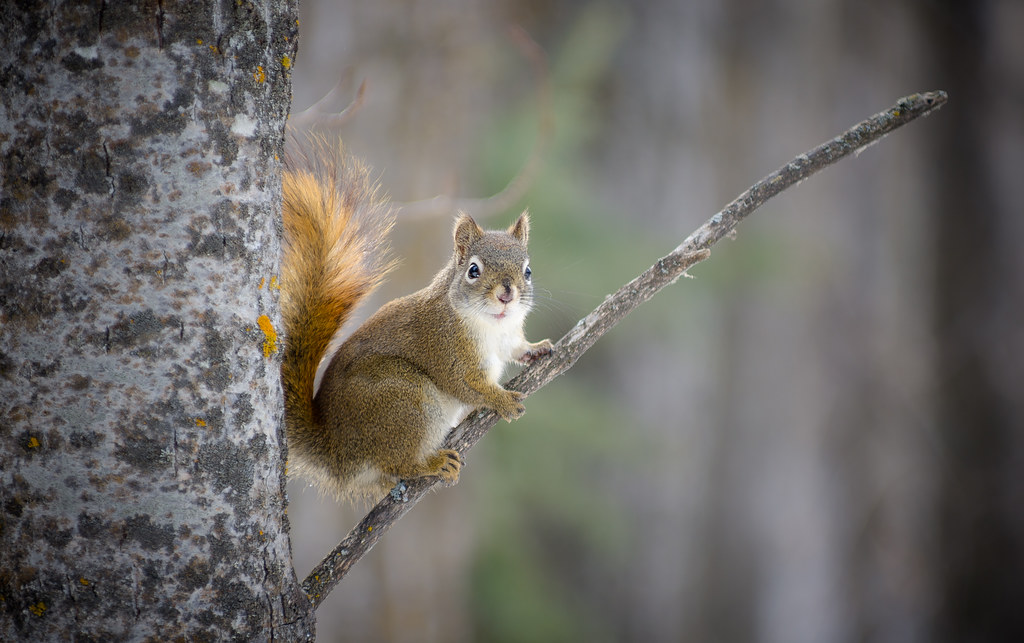 Proud Squirrel