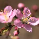 Japanese bush cherry / Prunus japonica / 庭梅(ニワウメ)