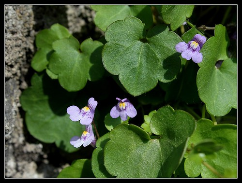 Cymbalaria muralis - linaire des murs, linaire cymbalaire 33389973683_31648af731
