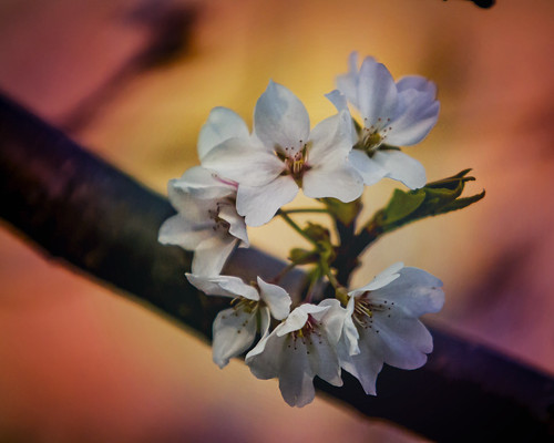 appleblossom flowers colors spring sunset