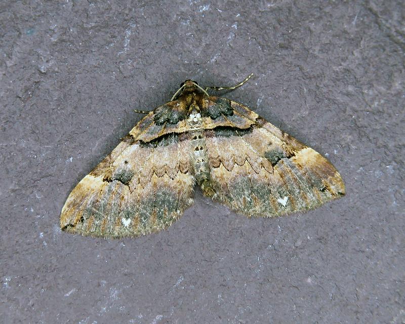 70.066 Shoulder Stripe - Earophila badiata