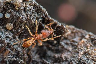 Ant (Strumigenys cf. godeffroyi) - DSC_2886