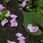 Peach petals after the rain