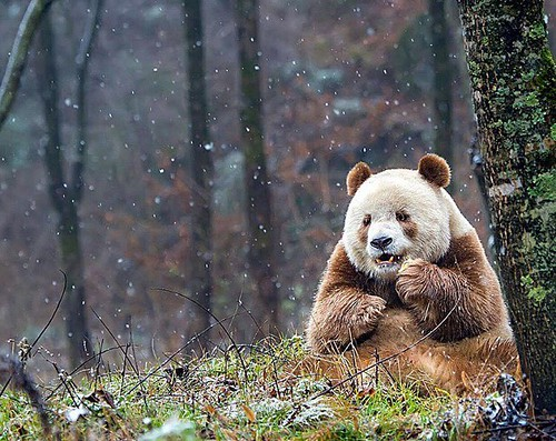 Meet Qizai, the only BROWN panda in the world! ????  Abandoned by his mother and bullied by his playmates, giant panda Qizai had a hard childhood. However, the adorable bear, currently seven years old, has grown to be a super star in the animal wo
