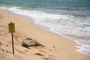 Hawaiian Monk seal, Gillin's Beach, Kauai | by Robin Wendler