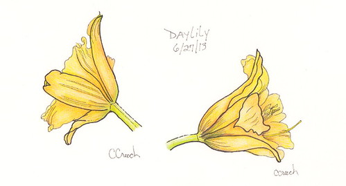 Daylilies - ink and colored pencil
