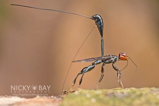 Crown Wasp ovipositing (Stephanidae) - DSC_1676 | by nickybay