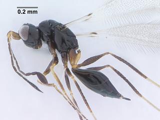Fairyfly Mymaridae (Polynema sp.)   by Twiztedminds