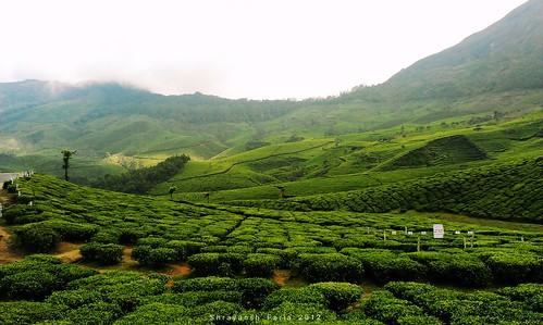 green tea lush landscape nature sky mountains hills gardens