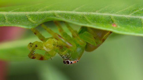 jumping spider caterpillar snack | by piggsyface