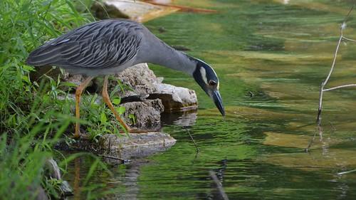 Yellow-crowned Night Heron | by Wildreturn