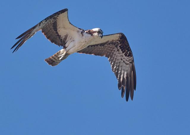 Osprey Searching Along Coastline