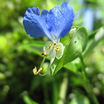 JAISTの花(夏その6)