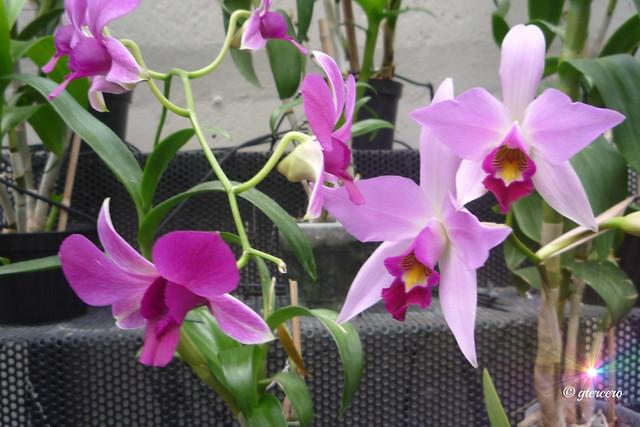 Orquídeas....P1100865GE