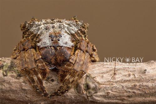 Broad-Headed Bark Spider (Caerostris sp.) - DSC_7275 | by nickybay