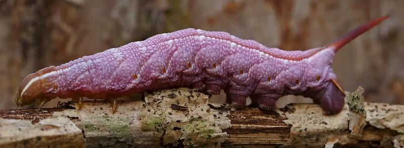 Hog Sphinx Moth Caterpillar - Darapsa myron