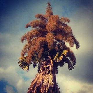 The huge and incredibly beautiful flowering palm at the British High Commissioner's Residence. | by BananaKatie