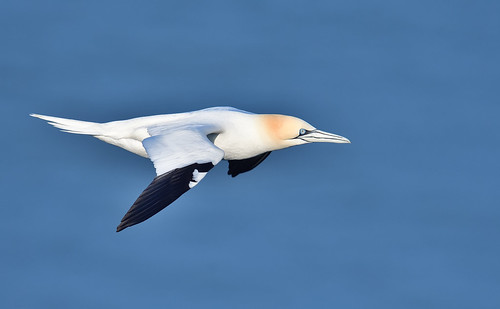 Northern Gannet | by Gary Vause