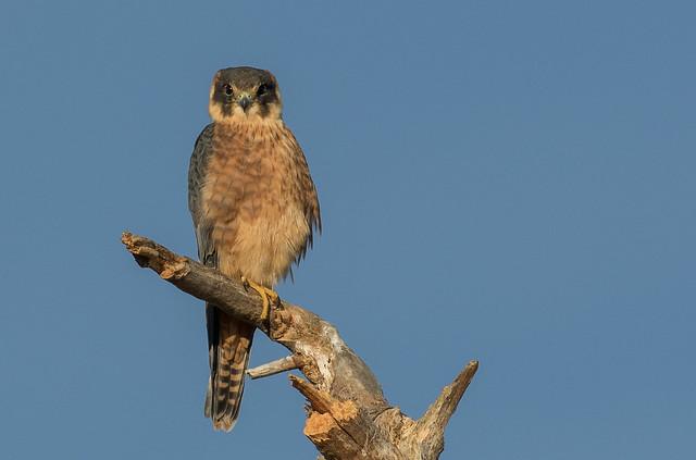 Australian Hobby. Falco longipennis-3710