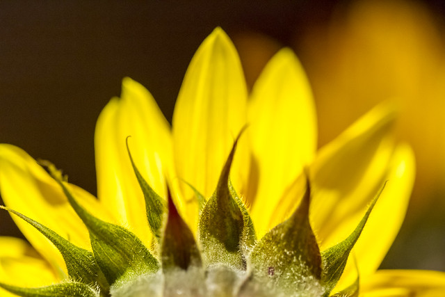 Macro #6 - Sunflower, The Other Side