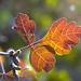 Three-leaf Sumac or Skunkbush